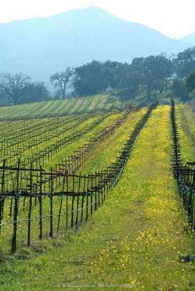mustard rows vines